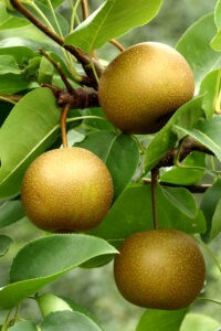 The pears used in the study are known by different names: Asian, Korean, and nashi. ©Stephen B. Goodwin/shutterstock.com